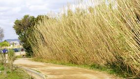 Reeds bordering a path in the Delta del llobregat. Barcelona Royalty Free Stock Photos