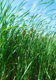 Reeds in the Breeze Stock Photos