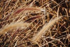 Ravenna Grass Stock Photo