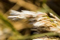 Reeds. Stock Photography