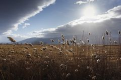 Reeds, bulrush, against cloudy sky. Autumn landscape Stock Image