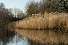 Reeds on the canal. Stock Photos