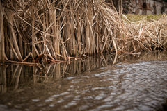 Reeds and cane at lake in late autumn Royalty Free Stock Photography