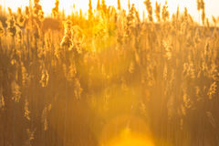 Reeds, cane, sunset. Cane at the sunset. Summer Stock Photos
