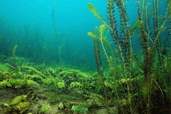 Reeds in clear water Royalty Free Stock Photo