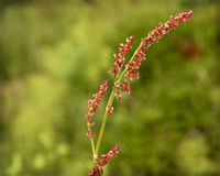 Reeds close up. Red reeds on green background Royalty Free Stock Photo