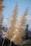 Ravenna Grass Stock Photography