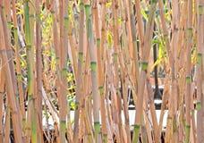 Reeds closeup Royalty Free Stock Photography