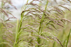 Reeds. In closeup on a windy day Royalty Free Stock Images