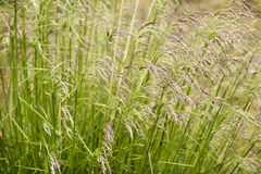 Reeds. In closeup on a windy day Stock Photography