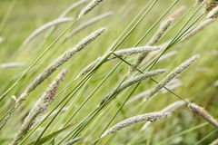 Reeds. In closeup on a windy day Stock Images
