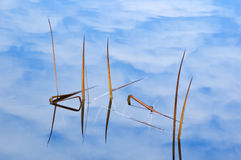 Reeds and Cloud Reflections Royalty Free Stock Photos