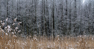 Reeds covered with snow Stock Photos