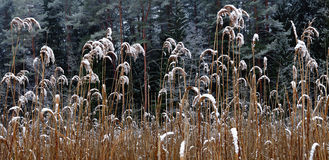 Reeds covered with snow Royalty Free Stock Photos