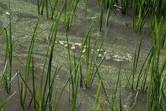 Aquatic plants in shallow water royalty free stock image