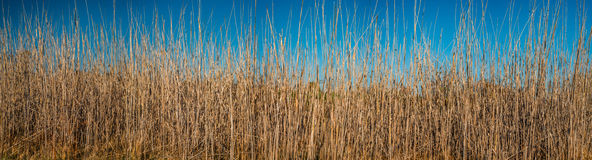 Reeds. Dry reeds in the sunlight against blue sky Royalty Free Stock Images