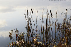 Reeds and expanse of lake Royalty Free Stock Photography