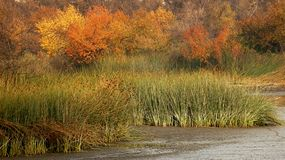 Reeds and fall color. Marsh Reeds with trees in fall color Stock Photo