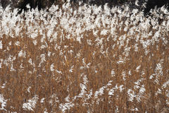 Reeds in field Stock Images