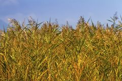 Reeds field background Royalty Free Stock Photos
