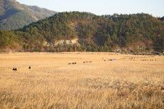 Reeds field and Boardwalk in Sunchoen Bay Stock Photography