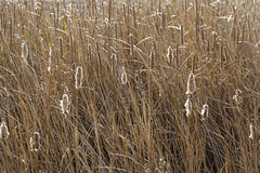 Reeds in the field Stock Images