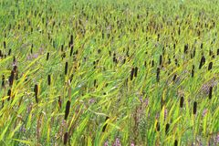 Reeds field with flowers in summer Royalty Free Stock Image