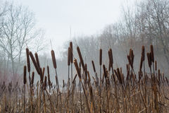 Reeds field in the foggy winter forest Royalty Free Stock Photos
