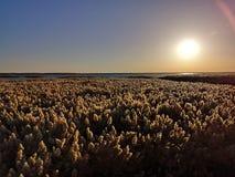Reeds field stock photos