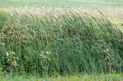Reeds field Royalty Free Stock Image