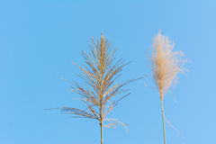 Reeds flower against blue sky royalty free stock images