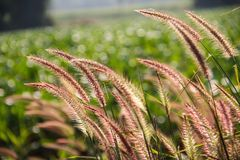 Reeds flower royalty free stock photography