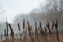 Reeds in the foggy winter forest Stock Image
