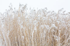 Reeds with frost Stock Images