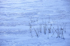 Reeds in a frozen lake Royalty Free Stock Image