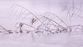 Reeds on a frozen lake Stock Photography