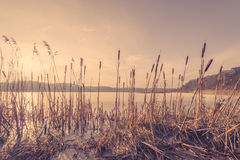 Reeds in a frozen lake in the sunset Royalty Free Stock Image