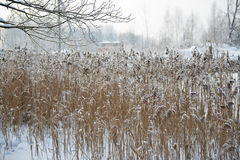 Reeds on frozen pond Royalty Free Stock Photography