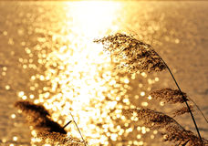 Reeds in golden light. Reeds in golden sunlight  by a lake Stock Photography