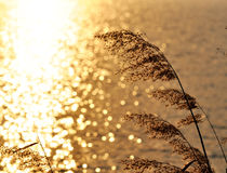 Reeds in golden light. Reeds in golden sunlight  by a lake Stock Photos