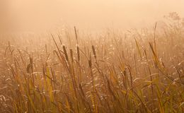 Reeds in the golden sunlight Stock Images