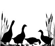 Reeds and goose silhouettes. Over white background Stock Photos
