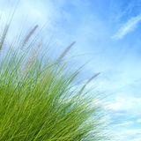 Reeds of grass royalty free stock photo