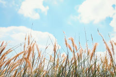 Reeds of grass and blue sky Stock Photos