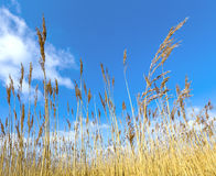 Reeds of grass with blue sky Stock Image