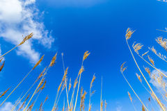 Reeds of grass with blue sky Royalty Free Stock Images
