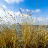 Reeds of grass with blue sky Royalty Free Stock Image