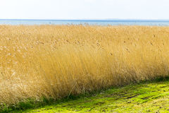 Reeds of grass with cloudy sky Stock Photography