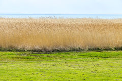 Reeds of grass with cloudy sky Royalty Free Stock Photography