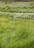 Reeds, grass, and fence. Field of grass, small bushes and reeds. Reynifell Iceland Royalty Free Stock Image